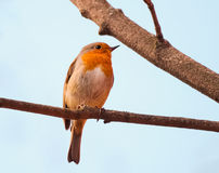 Erithacus rubecula bird Royalty Free Stock Photos
