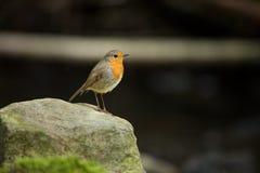 Erithacus rubecula Europäischer kleiner Vogel, überall vorhanden in Europa lizenzfreie stockfotografie