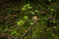 Erithacus rubecula Europejski mały ptak, wszędobylski przez cały Europa Obrazy Royalty Free