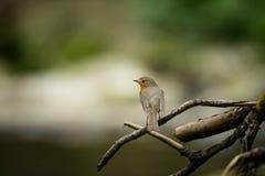Erithacus rubecula Europejski mały ptak, wszędobylski przez cały Europa Obrazy Stock