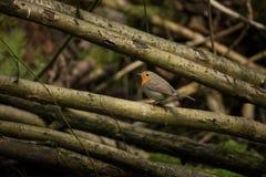 Erithacus rubecula Europejski mały ptak, wszędobylski przez cały Europa Zdjęcie Stock