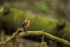 Erithacus rubecula Europejski mały ptak, wszędobylski przez cały Europa Zdjęcia Royalty Free