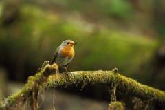 Erithacus rubecula Europejski mały ptak, wszędobylski przez cały Europa Zdjęcia Stock