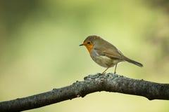 Erithacus rubecula Europejski mały ptak, wszędobylski przez cały Europa Zdjęcie Royalty Free