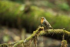 Erithacus rubecula Europejski mały ptak, wszędobylski przez cały Europa Obraz Royalty Free