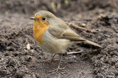 Erithacus rubecula on ground. Robin bird. Royalty Free Stock Photos