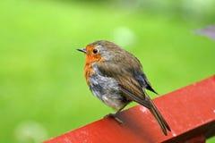 Erithacus rubecula, Robin Royalty Free Stock Image