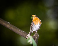 Erithacus rubecula, Robin Royalty Free Stock Photos
