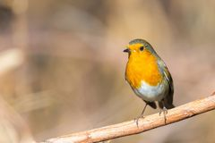 Erithacus rubecula. Robin bird or Erithacus rubecula in forest with copy space for text Royalty Free Stock Photos