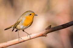 Erithacus rubecula. Robin bird or Erithacus rubecula in forest with copy space for text Royalty Free Stock Photo