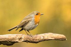 Robin, Erithacus rubecula, cute songbird. Erithacus rubecula, the Robin is a cute bird with a red chest stock photos