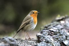 Robin, Erithacus rubecula, cute songbird. Erithacus rubecula, the Robin is a cute bird with a red chest stock image