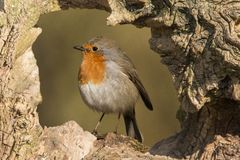 Robin, Erithacus rubecula, cute songbird. Erithacus rubecula, the Robin is a cute bird with a red chest royalty free stock photography
