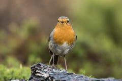 Robin, Erithacus rubecula, cute songbird. stock photos