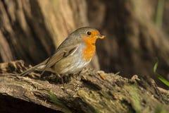Robin, Erithacus rubecula, cute songbird. Erithacus rubecula, the Robin is a cute bird with a red chest stock photography