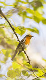 Erithacus rubecula, robin Royalty Free Stock Images