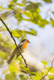 Erithacus rubecula, robin Royalty Free Stock Photo