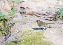 Erithacus rubecula, robin Stock Images