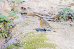 Erithacus rubecula, robin Stock Photos
