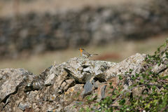 Erithacus rubecula singing on a stone wall Stock Images