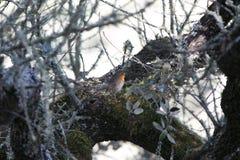 Erithacus rubecula singing on a tree Stock Photo