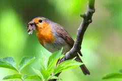 Erithacus rubecula. Sitting on a tree with a full beak Stock Photos