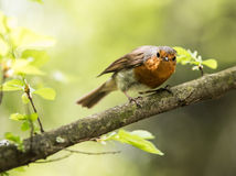 Erithacus rubecula on the tree Royalty Free Stock Photos