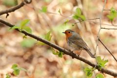 Erithacus rubecula. The wild nature of the Czech Republic. Autumn colors in nature. Beautiful picture. Free nature. Forest full of birds. Colorful bird in royalty free stock photos