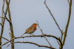 Erithacusrubecula van Robin op een tak in de lente wordt neergestreken die stock afbeelding