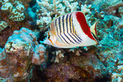 Eritrean butterflyfish Royalty Free Stock Photos