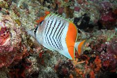 Eritrean butterflyfish Stock Images