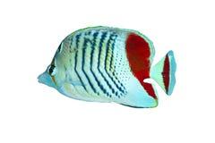 Eritrese Butterflyfish stock afbeelding