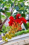 eritrine或者梯沽& x28; 拉特 Erythrina& x29;是开花植物类豆类家庭的 与红色花的结构树 免版税库存照片