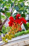 Eritrine, koralowy drzewo lub x28; lat Erythrina& x29; jest genus kwiatonośne rośliny w legume rodzinie Drzewo z czerwonymi kwiat Zdjęcia Royalty Free