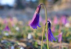Eritronium dois no prado de florescência. imagens de stock royalty free
