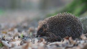 Erizo animal prudente menudo que permanece en la raíz del árbol forestal y que se escabulle su nariz en busca de la comida almacen de metraje de vídeo