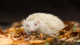 Erizo británico blanco Albino Erinaceus Europaeus en hojas de otoño Imagen de archivo