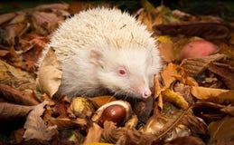 Erizo británico blanco Albino Erinaceus Europaeus en hojas de otoño Imagen de archivo libre de regalías