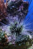 Erizo de mar Fotografía de archivo libre de regalías