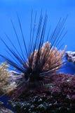 Erizo de mar Imagen de archivo libre de regalías