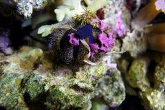 Erizo de mar Fotos de archivo libres de regalías