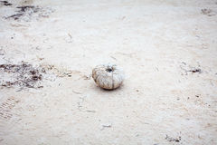 Erizo de mar después de muertos Fotos de archivo