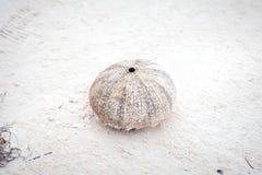 Erizo de mar después de muertos Imagen de archivo libre de regalías