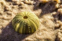 Erizo de mar en arena de mar Foto de archivo libre de regalías
