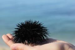 Erizo de mar en las palmas de los ni?os foto de archivo libre de regalías