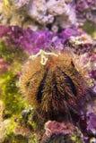 Erizo de mar Pilluelo Mespilia de la esfera de Brown Foto de archivo libre de regalías