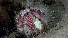 Erizo de mar subacuático en el fondo del mar de la vida marina almacen de video