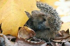 Erizo debajo de las hojas de otoño Foto de archivo libre de regalías