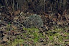 Erizo en el bosque Imagen de archivo libre de regalías
