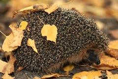 Erizo en el bosque del otoño Fotografía de archivo libre de regalías